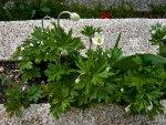 anemone-i0.jpg