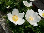 anemone-i1.jpg
