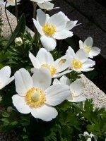 anemone-i2.jpg