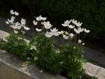 anemone-i3.jpg