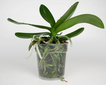 Орхидея за пресаждане.