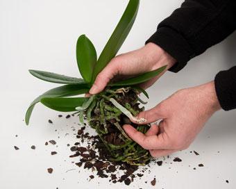 Разчоплете и отстранете стария субстрат от корените.