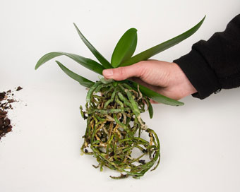 Орхидеята след промиването.